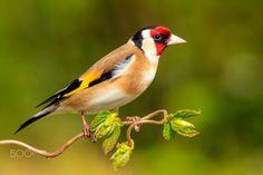 European goldfinch ( L: Carduelis carduelis / N: Stillist )