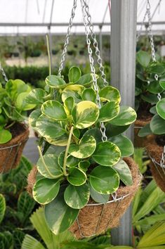 Peperomia obtusifolia 'Green and Gold' - A short but broad growing understory plant or pot plant with thick glossy, rounded leaves. Fantastic indoor plant, especially in hanging baskets in bright conditions without harsh direct sun.