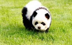 Herunterladen hintergrundbild panda, 4k, niedliche tiere, teddybären, lustige tiere