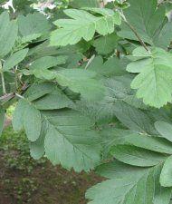 Sorbus hybrida - suomenpihlaja