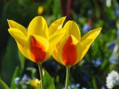 Tulpenpaar+gelb-orange Orange, Rose, Flowers, Plants, Tulips, Yellow, Pictures, Pink, Plant
