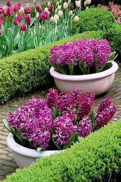Pink pot planted with hyacinth 'purple sensation' with box hedging and tulip 'negrita'