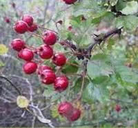 Crataegus oxyxantha | herb info from the Happy Herb Company