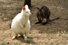 Black or white? Beautiful kangaroos from Australia