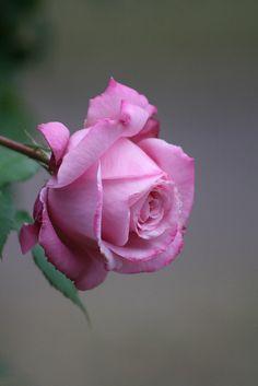 Beautiful Flowers Wallpapers, Beautiful Rose Flowers, Pink Rose Flower, Pretty Roses, Flowers Nature, Exotic Flowers, Amazing Flowers, Pretty Flowers, Pink Flowers
