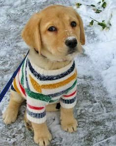 Polly The Labrador Retriever So Stinkin Cute In His Puppy Sweater Stuffdot  C B We Love Our Pets