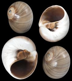 Whales Eye shells great hermit crab shell