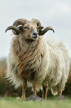 Goats, Painting, Animals, Animais, Animales, Animaux, Paintings, Animal, Draw