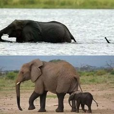 Baby Elephant crossing the river with his Mum e268de330d21