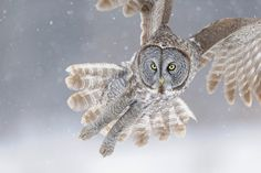 Awesome. Great Gray Owl