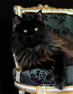 Black cat ~ Pasha