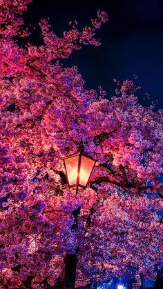 Kirschblüte in der Nacht Cherry blossom at night, the Blossom Cherry Blossom Wallpaper Iphone, Cherry Blossom Background, Aesthetic Backgrounds, Aesthetic Iphone Wallpaper, Aesthetic Wallpapers, Scenery Wallpaper, Cool Wallpaper, Wallpaper Ideas, Flower Wallpaper