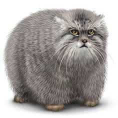"Манул (Otocolobus manul)  Pallas cat - Russia ✮✮""Feel free to share on Pinterest"" ♥ღ"