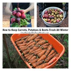 How to Keep Carrots, Potatoes and Beets Fresh All Winter. Michelle writes: How do you cure root crops like potatoes and carrots to last longer than a couple weeks? I'll be tipping over 2 of my three potato towers to see how that turned out but now wondering how on earth I preserve potatoes for an extended time...