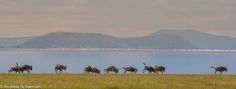 A Small herd of Wildebeest on the Shores of Lake Manyara