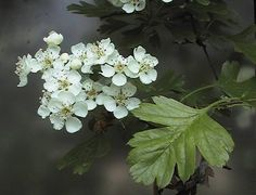 Crataegus monogyna eenstijlige meidoorn Mom Tattoos, Plants, Projects, Home, Log Projects, Blue Prints, Plant, Mommy Tattoos, Planets