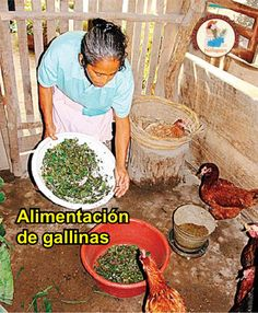 Alimentación de gallinas