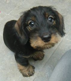 Mini Wire-haired Dachshund Pup..a friend for lola...one day maybe