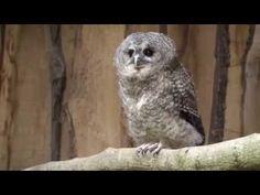 Waldkauz Baby läßt sich streicheln/Tawny owl baby caressed - YouTube