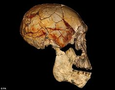 Discovery: A skull of the new species of early human, developed from fossils found near Lake Turkana in Kenya