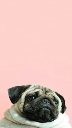 Pug wallpaper I just love it