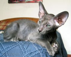 NarkiAyun Ganges, Blue Oriental Shorthair, male
