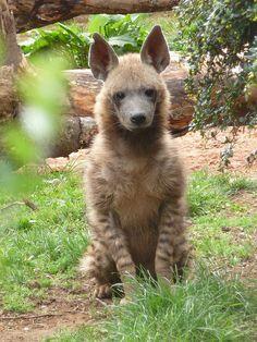 Female striped hyena by Nicola Williscroft, via Flickr