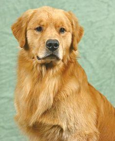 Nalyns Goldens Golden Retrievers - Home Page