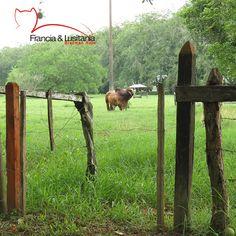 Toros emblemáticos, ¿lo reconoces? #BrahmanRojo #Montería
