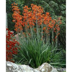 Kangaroo paw 'orange cross' - Grows to 4-5 ft tall by 2-3 feet wide with orange flowers in summer. Planned for use under kitchen window and in front walkway before fountain.