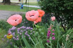 I woke to 6 newly popped poppies. It is a very good day!