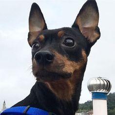 * *  Good Morning☁️ * * 雨が上がったのであさんぽ行ってきたよ🐾 * 濃霧でソウルタワーが見えない🗼 * * 今週もよろしくねっ❣ * *  Have a good one👍 * * #ミニピン #ミニチュアピンシャー #ブラックタン #愛犬 #犬 #いぬ #わんこ #minipin #instadog #ilovemydog #dogstagram #pets #doglover #dogs #lovely #instapet #lovemydog #미니핀 #dogsofinstagram #minipinstagram #おはよう #goodmorning #エリカラ
