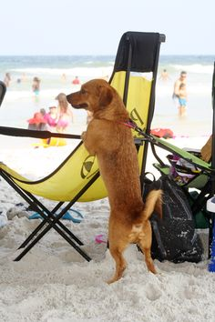 Pets like the beach too! Jacksonville Beach, September 2, Us Beaches, Amazing Photography, Florida, Puppies, Pets, The Florida, Cubs