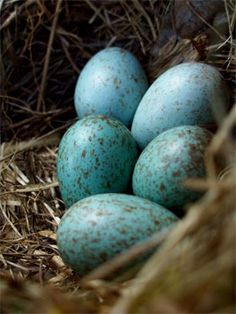 Wow I wouldn't imagine how lovely blackbird eggs are -  a beautifully mottled turquoise