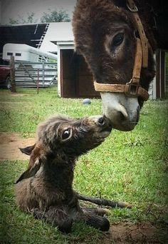 Baby Donkey, Cute Donkey, Baby Cows, Baby Elephants, Cute Baby Animals, Farm Animals, Animals And Pets, Wild Animals, Beautiful Horses