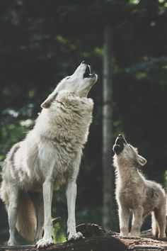 Tattoo Wolf Howling Baby Wolves Ideas For 2019 Tattoo Wolf Howling Baby Wolves Ideas For can find Wolf howling an. Wolf Love, Arktischer Wolf, Wolf Pup, Wolf Howling, Wolf Spirit, My Spirit Animal, Beautiful Wolves, Animals Beautiful, Beautiful Creatures