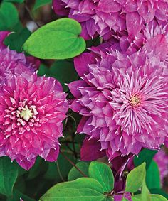Clematis Blushing Bridesmaid Plant