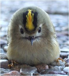 Who can resist this face.....Juvenile Golden-Crowned Kinglet