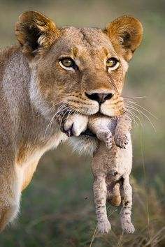 Africa | Lioness carrying a one day old cub, after been attacked by a herd of Buffalos, Okavango Delta, Botswana | ©Roy Mangersnes