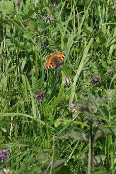 This small Tortoiseshell on Common Vetch was spotted by Charles Robinson this weekend whilst out walking in Tissington, Peak District. 18 May 2014