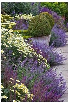 Lavender Daisies, Lavender Border, Lavender Gardens, Purple Flowers, White Gardens, Pretty Flowers, Racemosa Walker'S, Nepeta Racemosa, Flower Garden ... #yellowflowergarden