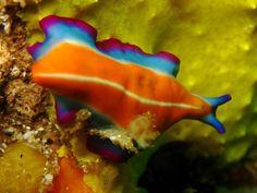 Nudibranche // Nudibranch