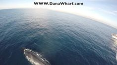 """Wait until you see this! Exclusive to Dana Wharf Whale Watching in Dana Point, Ca --the """"Dana Wharf Copter Cam. The Copter Cam filmed the Fin Whale while aboard the Whale Watching the Dana Pride."""