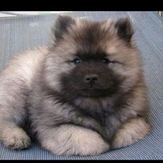 Keeshond puppy - looks just like my  Dutch when I was a child!!