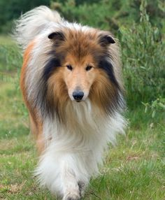 Adorable long haired rough collie dog ..... click on picture to see more