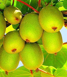 Kiwi am Baum am Tage — hier: Neverland. Kiwi, Fruit, Tree Structure