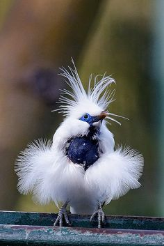 Blue Myna bird, all dressed up in white fluff.