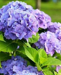 hydrangea - blue, purple, pink or white . change the bloom colour with soil amendments to pH levelhydrangea - blue, purple, pink or white . change the bloom colour with soil amendments to pH level Hortensia Hydrangea, Hydrangea Care, Hydrangea Macrophylla, Hydrangea Flower, Amazing Flowers, Purple Flowers, Beautiful Flowers, Garden Inspiration, Beautiful Gardens