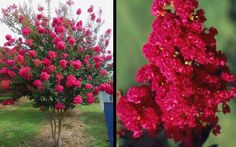 Tonto Crape Myrtle is a year-round color factory producing an abundance of striking, watermelon-red (bright magenta) flower clusters on a globe-shaped canopy for up to 120 days during summer.