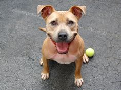 GONE - TO BE DESTROYED 7/18/14 Manhattan Center -P  My name is AJ. My Animal ID # is A1005874. I am a spayed female tan pit bull mix. The shelter thinks I am about 1 YEAR 6 MONTHS old.  I came in the shelter as a STRAY on 07/07/2014 from NY 10458, owner surrender reason stated was STRAY. https://www.facebook.com